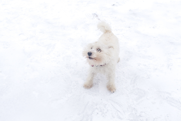 Westie playing in the snow, West Highland Terrier, lifestyle dog photography