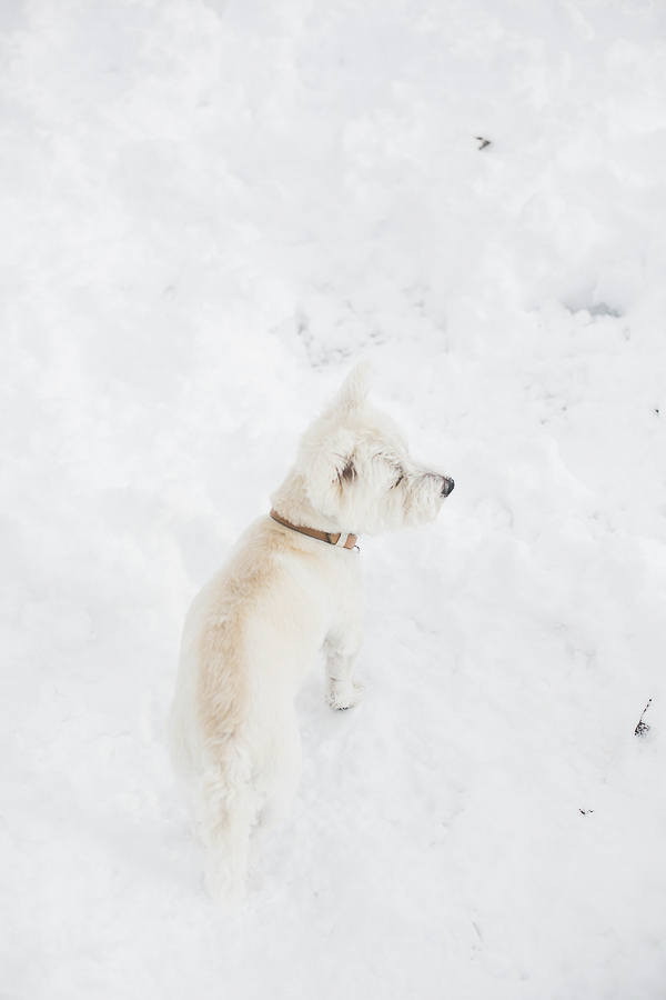Westie in snow, small white dog standing in snow