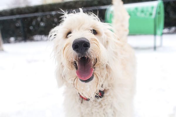 Golden doodle at snowy dog park