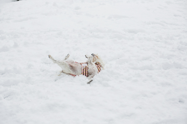 Westie rolling in snow, NC on location dog portraits