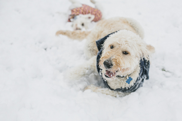 dogs rolling in the snow