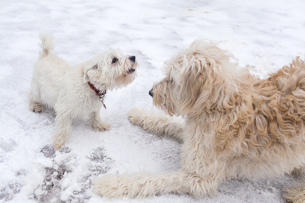 Focus:  Chewie the Golden Doodle and Molly the Westie