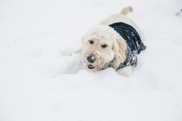 dog lying in snow, snow dog