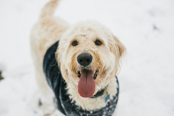 happy dog in snow, Goldendoodle with tongue out, dog portraits