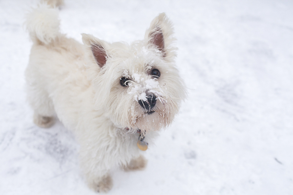 little dog with snow on nose, West Highland Terrier, winter dog portraits