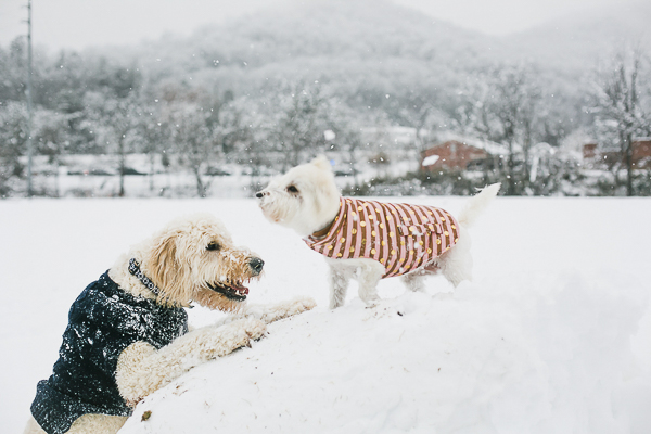 West Highland Terrier standing on big snow ball, goldendoodle looking up at Westie, NC pet photography