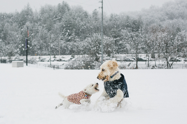 Westie and Goldendoodle playing in snow, dogs wearing coats