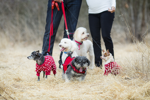 dogs wearing red polka dot sweaters, maternity photos with dogs