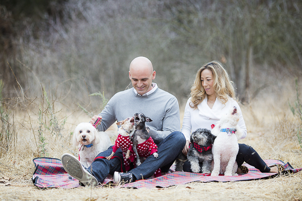 toy poodle, Chihuahuas, Maltipoo, Bichon and couple on blanket, maternity pictures with dogs