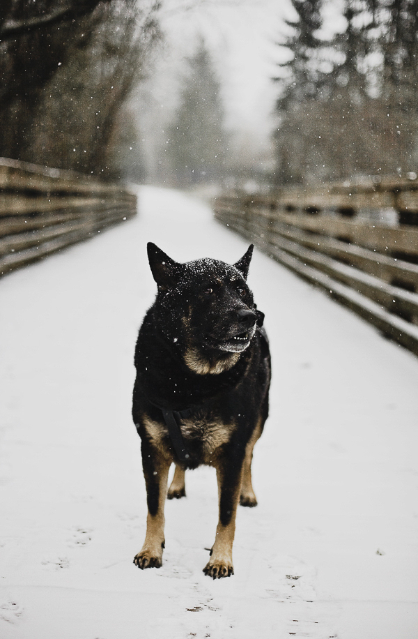 modern dog photographer, Shepherd/Chow mix on snowy boardwalk