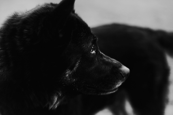 black and white dog photography, shepherd/chow mix