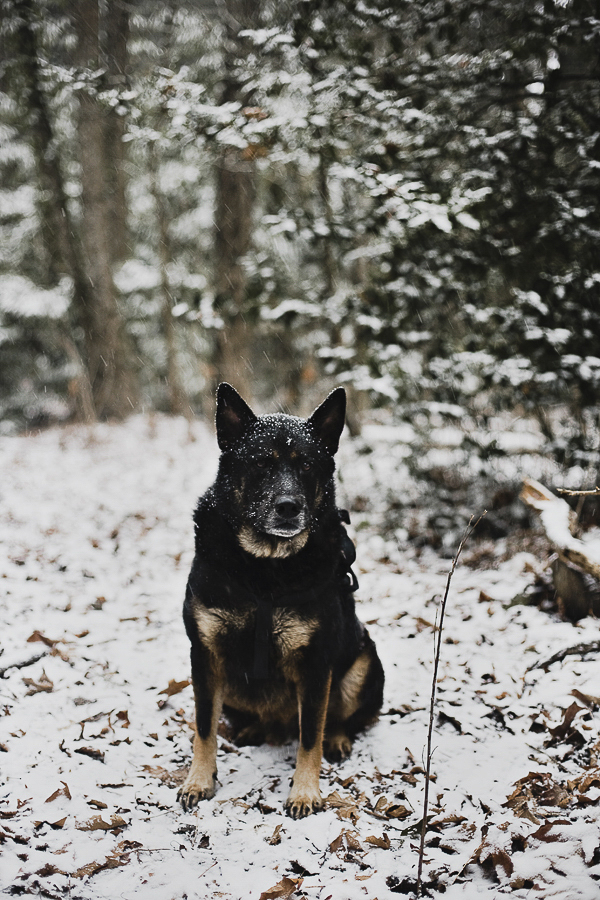 Shepherd mix sitting in the woods, snow dog