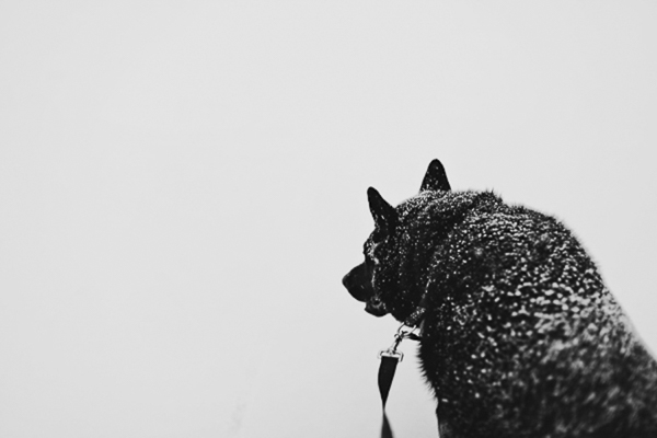snow on black dog's back, snow dog, Shepherd/Chow mix, Portland pet photography