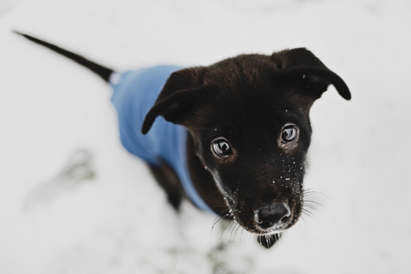 black puppy wearing blue jacket sitting in snow, on location dog photography