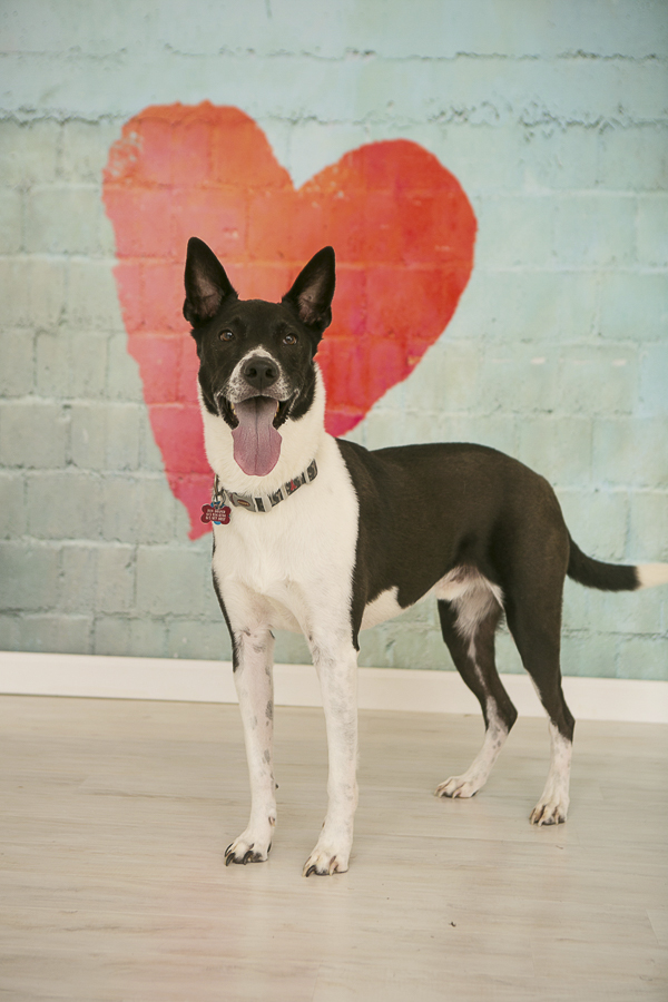 black and white dog in front of painted heart, Nashville dog photographer