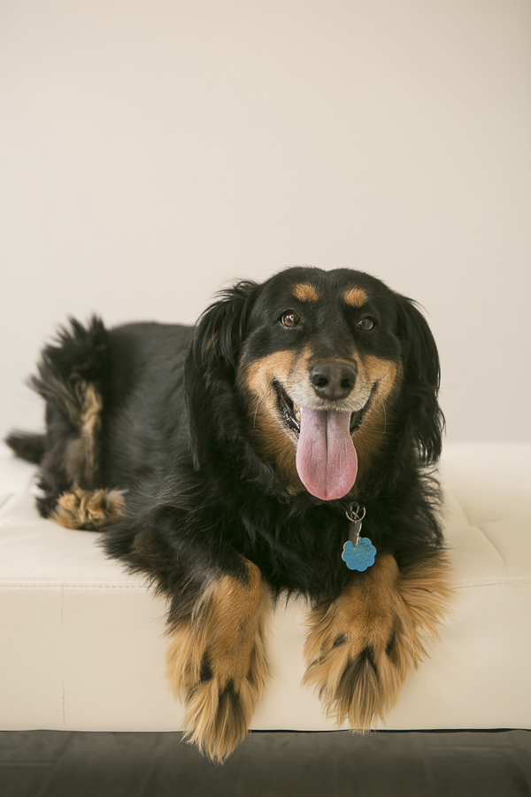 handsome black, tan spaniel mix, Nashville pet photography
