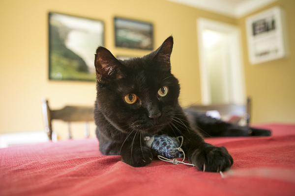 black cat playing with toy, on location cat photographer
