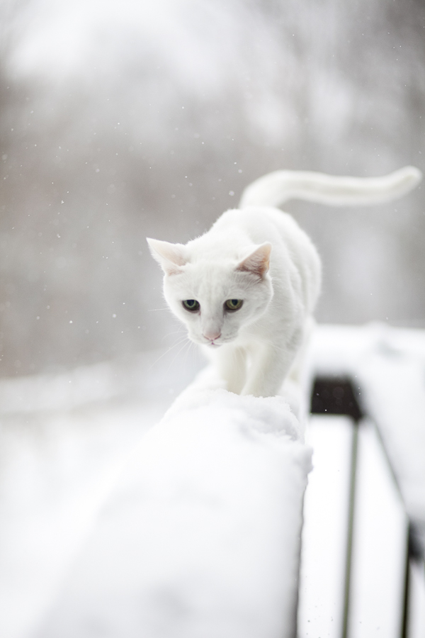 white cat in snow,
