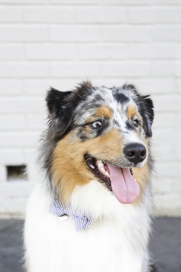 lifestyle dog photography, handsome dog, Aussie, Charleston