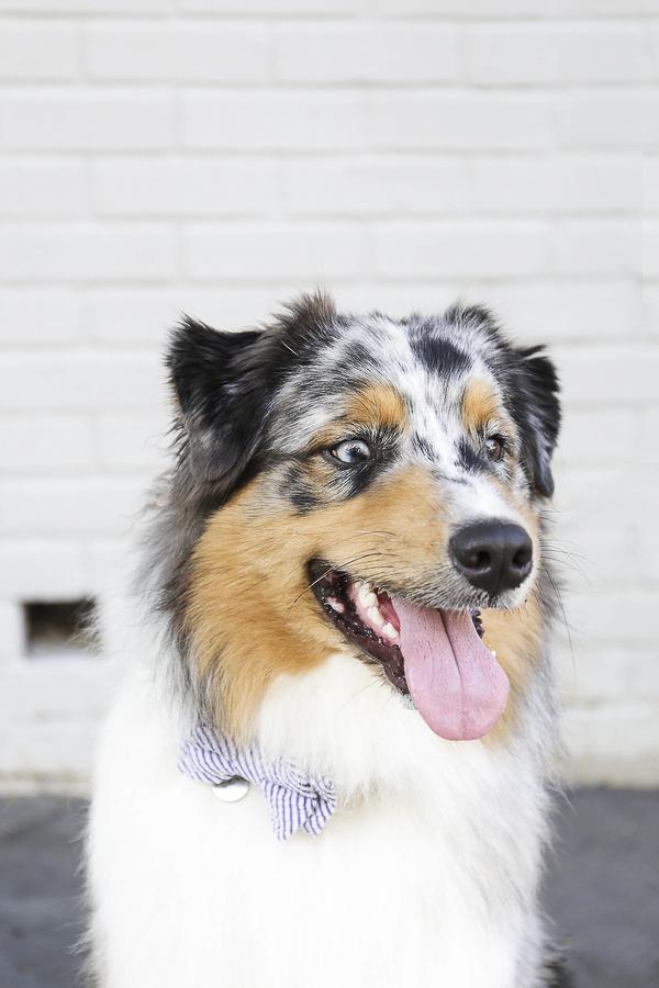lifestyle dog photography, handsome dog, Aussie, Charleston