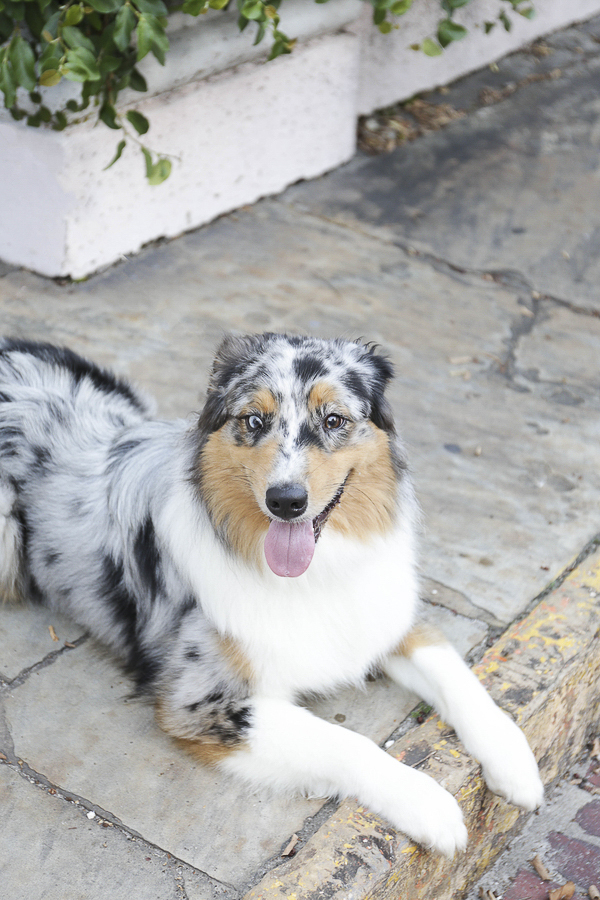 handsome blue merle Australian Shepherd lying on sidewalk, historic Charleston pet photography