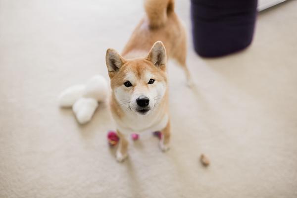 Happy Tails:  Mika the Shiba Inu