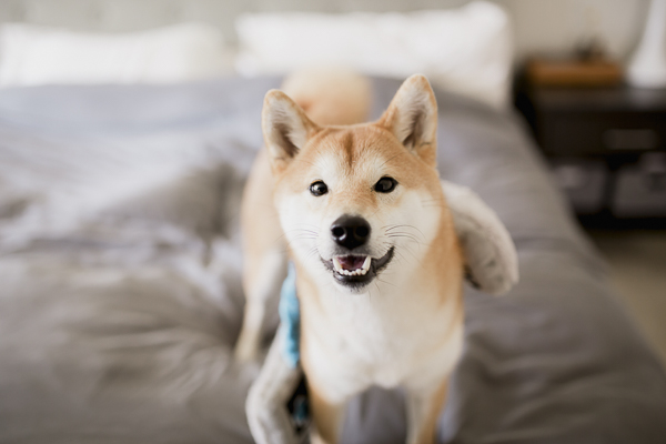 Happy Shiba Inu standing on bed, on location photography