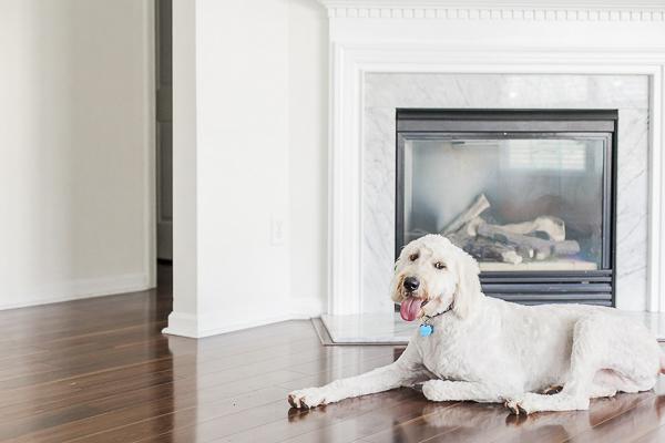 Golden Doodle lying on hardwood floor next to fireplace, lifestyle dog photography