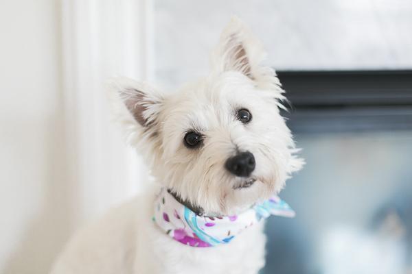 cute Westie wearing white, blue, fuchsia scarf, modern dog photography