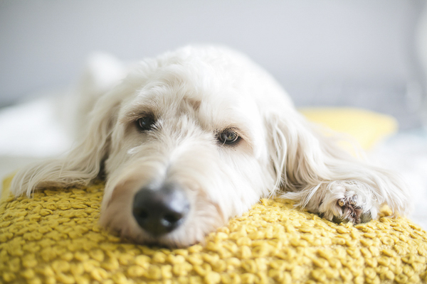 tired dog lying on yellow pillow,
