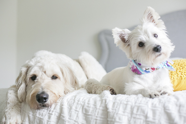 cute Westie and Golden Doodle lying on bed