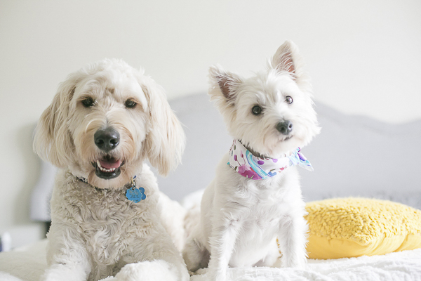 dog bff, dog dynamic duo, Golden Doodle and Westie on bed, Charlotte Pet Photography
