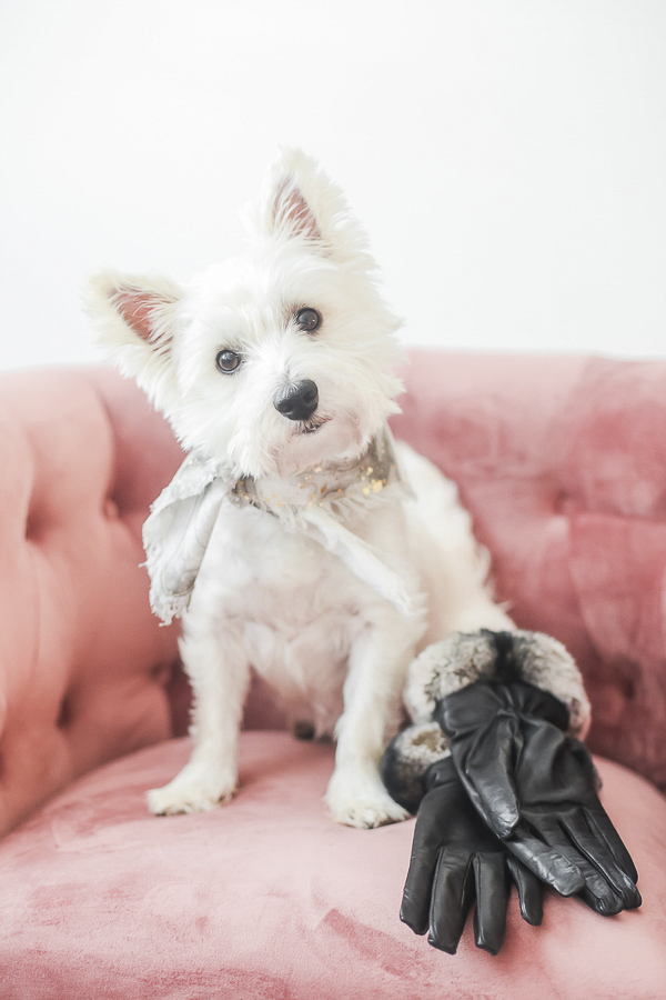 adorable Westie sitting on pink chair, lifestyle dog photography