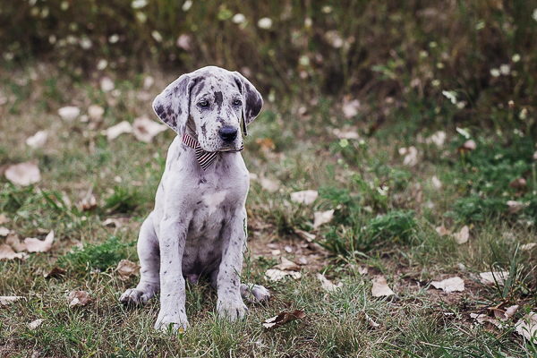 merle Great Dane puppy sitting on grass, lifestyle dog photography