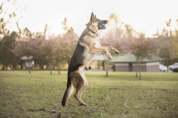 German Shepherd catching ball, on location pet portraits