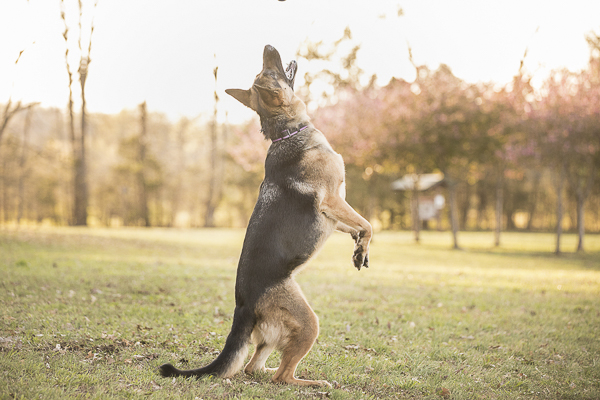 dog catching ball at the park, Nashville pet photography