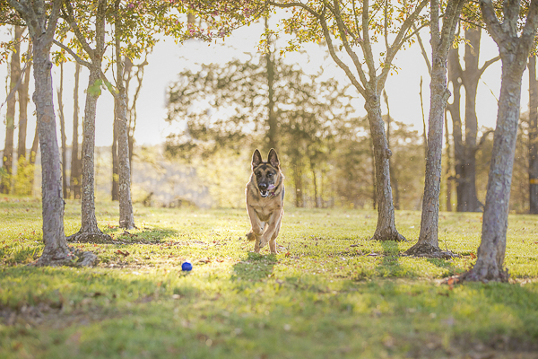 dog chasing blue ball, spring dog photos