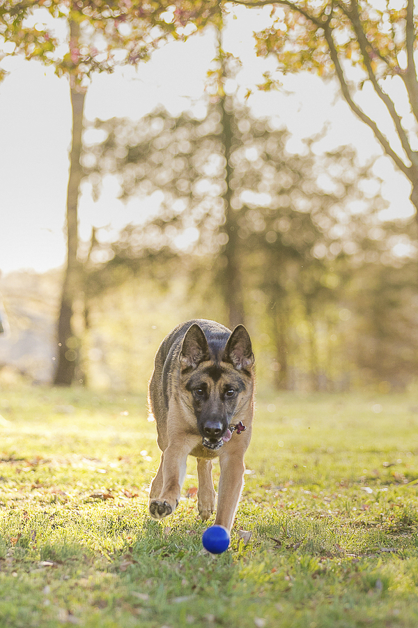 German Shepherd chasing blue ball, creative dog photography