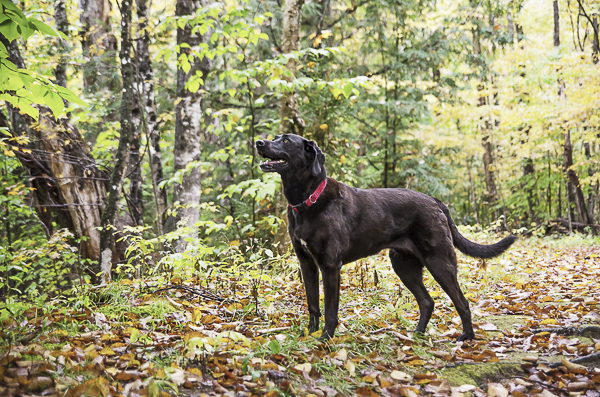 dog in woods, on location pet photography, MA dog photographer