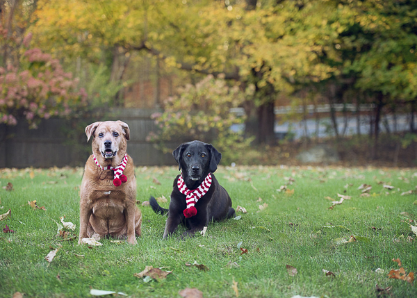 senior Golden Retriever mix and Black Lab wearing red white scarves, on location pet photography