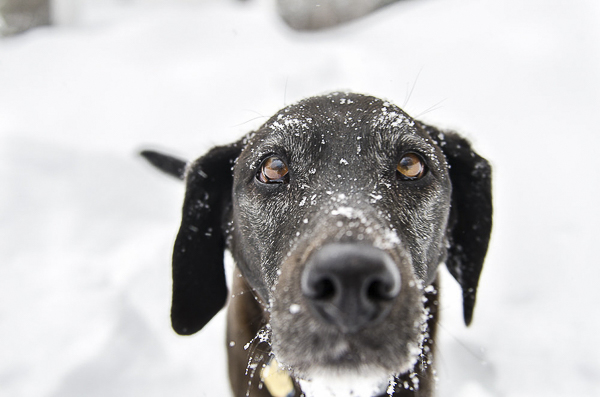 Black Lab close up, snow dog, Black Lab with snow on face