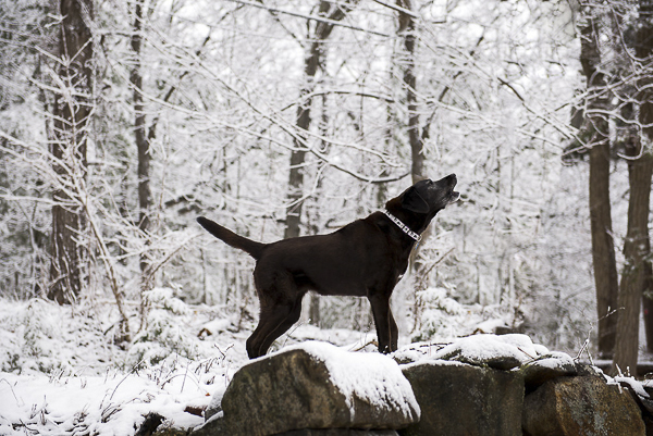 Winter dog portraits, Black Lab wearing white, black collar, barking, winter woods