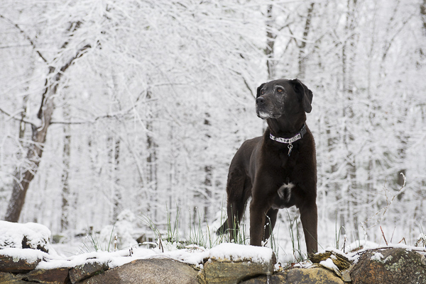 Black Lab standing in snowy woods, on location pet photography