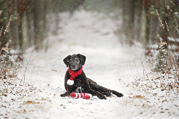 holiday dog photos, Black lab lying in snow in the woods, candy cane toy, red scarf