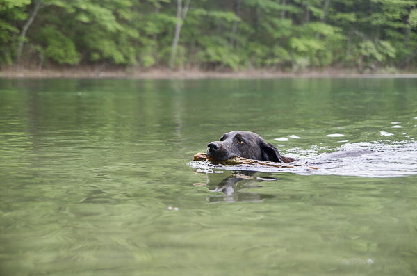 Black Lab swimming with stick in her mouth, on location dog portraits