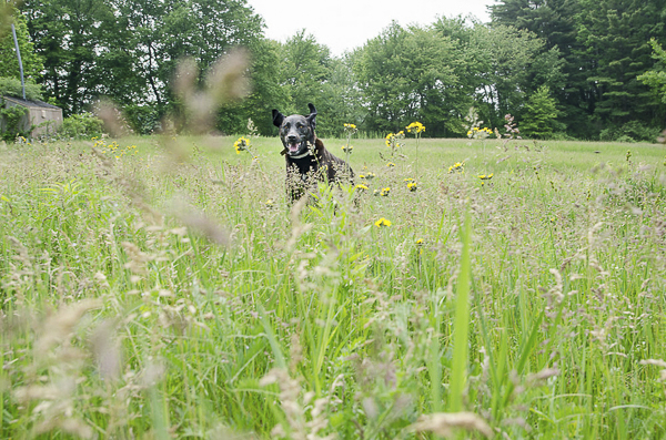 dog running through field, on location dog photography, summer dog portraits