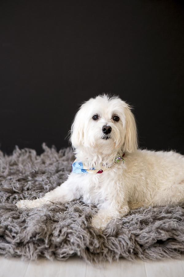 Maltese-Havanese mix, handsome dog, small white dog, Nashville studio dog photographer