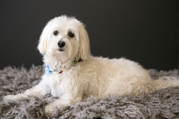 Happy Tails:  Rudy the Maltese-Havanese Mix