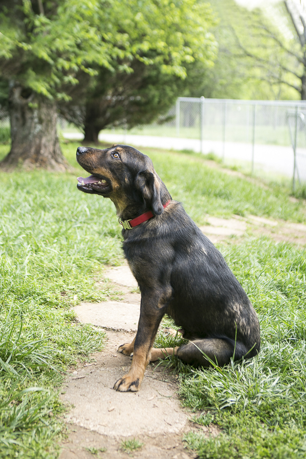 adoptable Australian Shepherd Rottweiler mix from TN, R.A.R.E