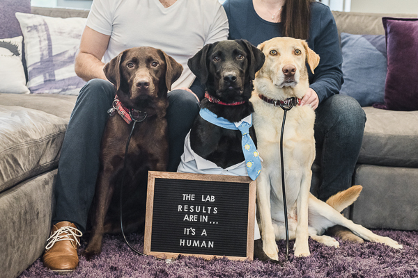 Lab Results, 3 Labrador Retrievers, pregnancy announcement with dogs, ©Sarah Gillogly Photography